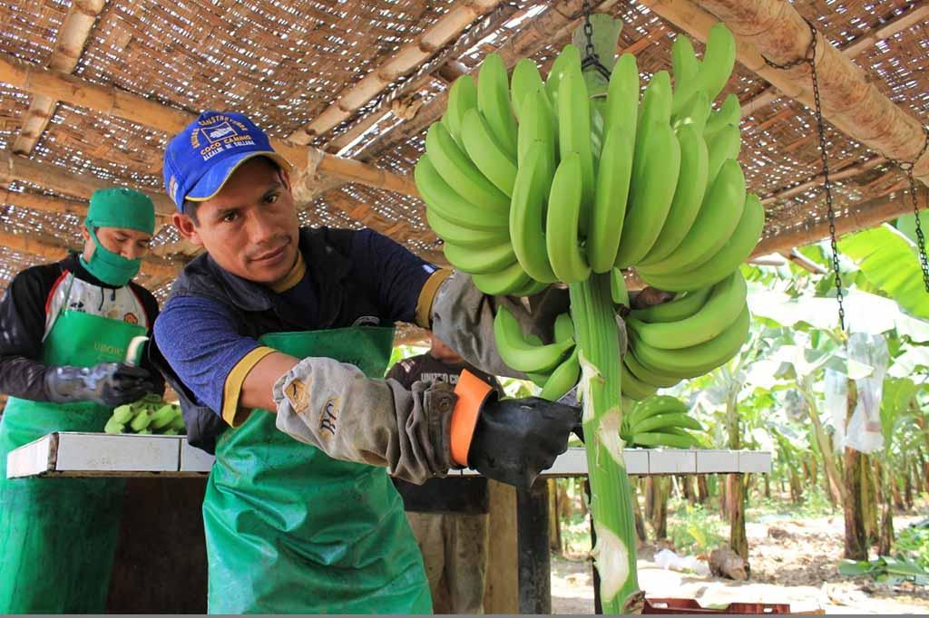 banano organico | Fotografia referencial