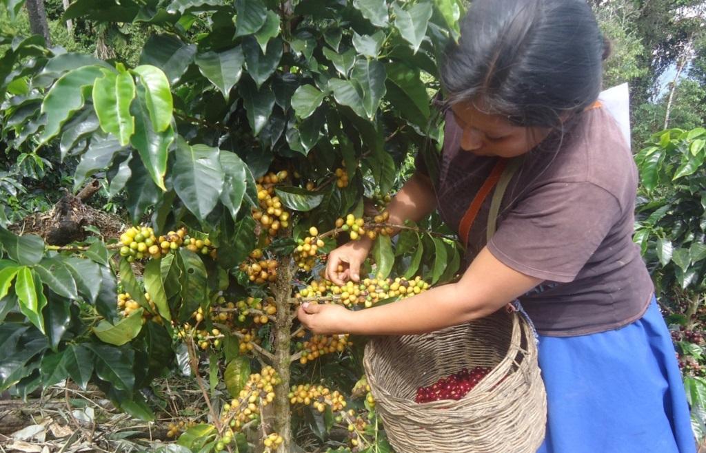 Cafetalera cosechando